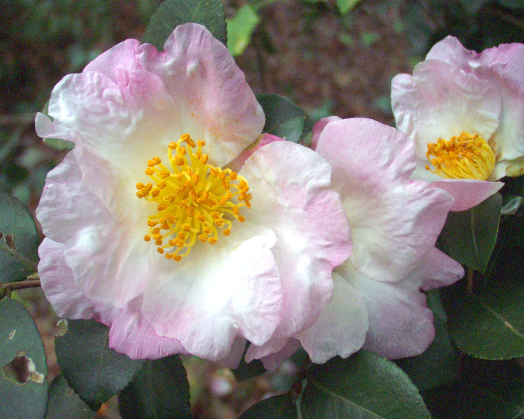 La planta del mes camelia camellia sasanqua for Camellia sasanqua